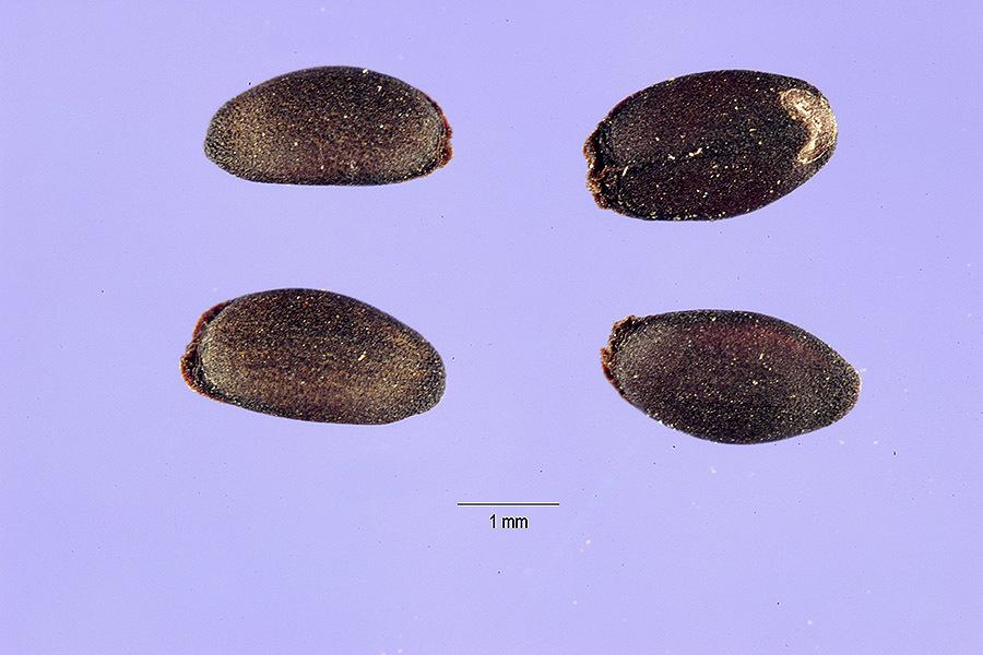 Image of American dragonhead