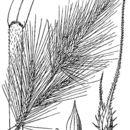Image of coast cockspur grass
