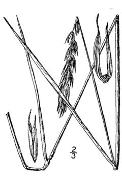Image of Virginia wildrye