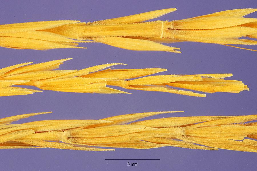 Image of Dahurian wild rye