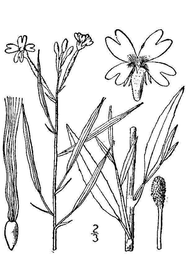 Image of tall annual willowherb