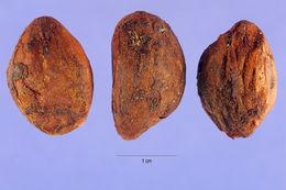 Image of loquat