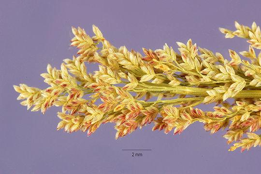 Image of pond lovegrass