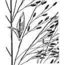 Image of Mexican lovegrass