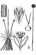 Image of sevenangle pipewort