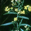 Image of flat-top goldentop