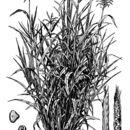 Image of Mexican teosinte