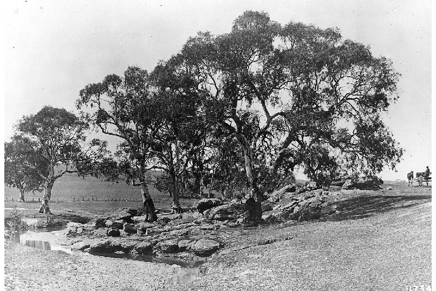Image of Red gum
