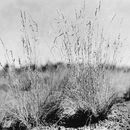 Image of Arizona fescue