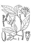 Image of eastern swampprivet