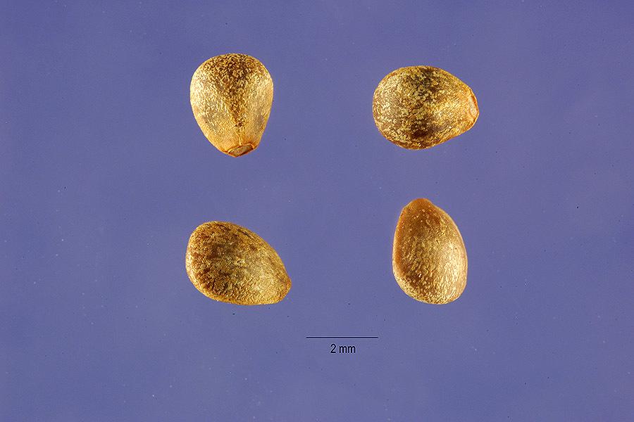 Image of brittlestem hempnettle