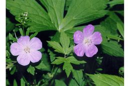 Image of spotted geranium