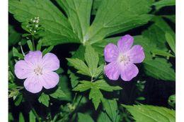 Image of spotted geranium