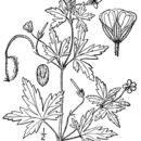 Image of Siberian geranium