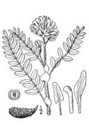 Image of Tennessee milkvetch
