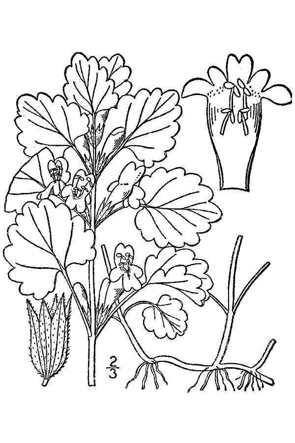Image of ground ivy