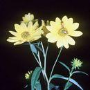 Image of sawtooth sunflower
