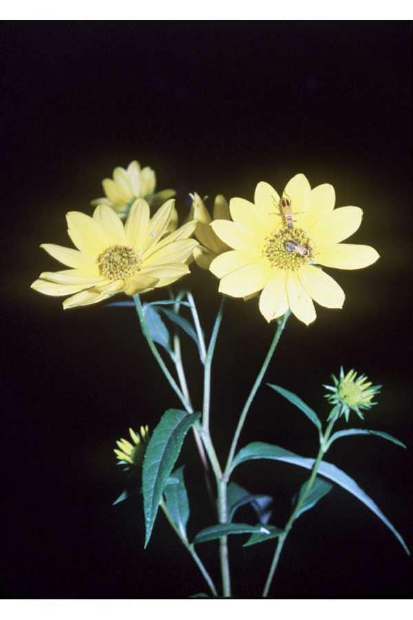 Image of sawtooth sunflower