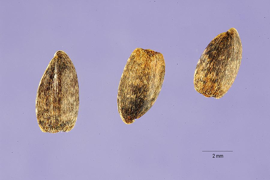 Image of paleleaf woodland sunflower