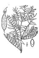 Image of looseflower milkvetch