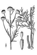 Image of fineleaf hymenopappus