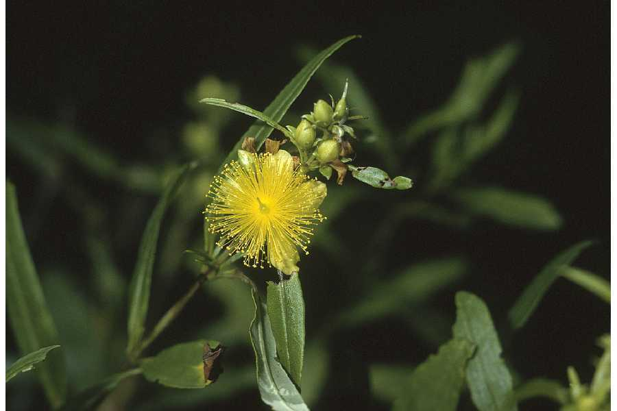 Image of shrubby St. Johnswort