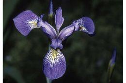 Image of Virginia iris