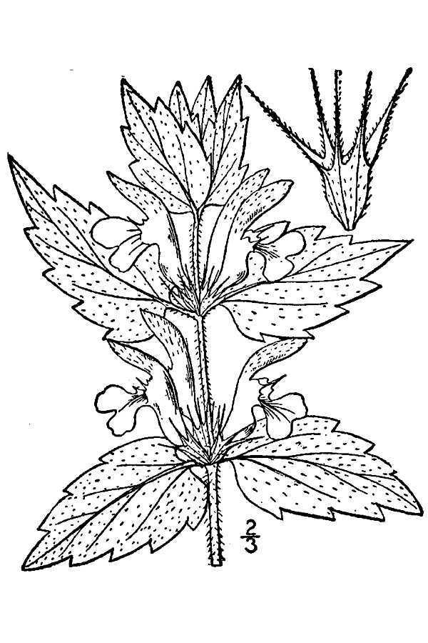 Image of white deadnettle