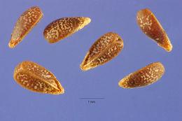 Image of common henbit