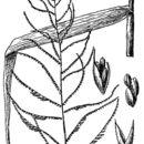 Image of mucronate sprangletop