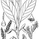 صورة <i>Leitneria floridana</i> Chapm.