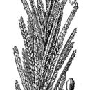 Image of Nealley's sprangletop
