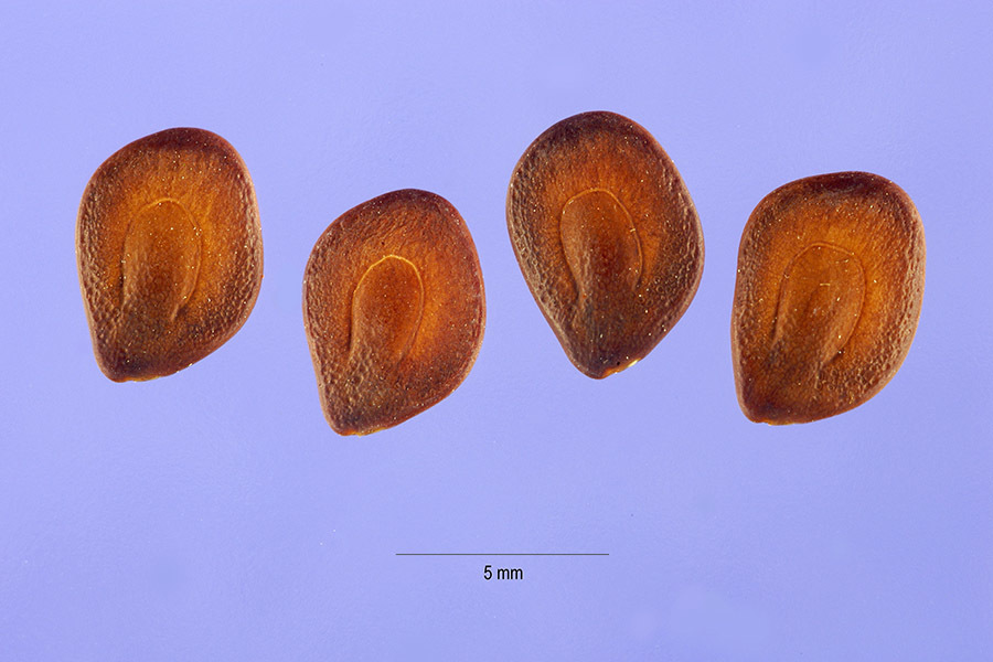 Image of littleleaf leadtree