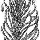 Image of rough sprangletop