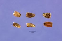 Image of honeyweed