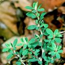 Image of Japanese clover