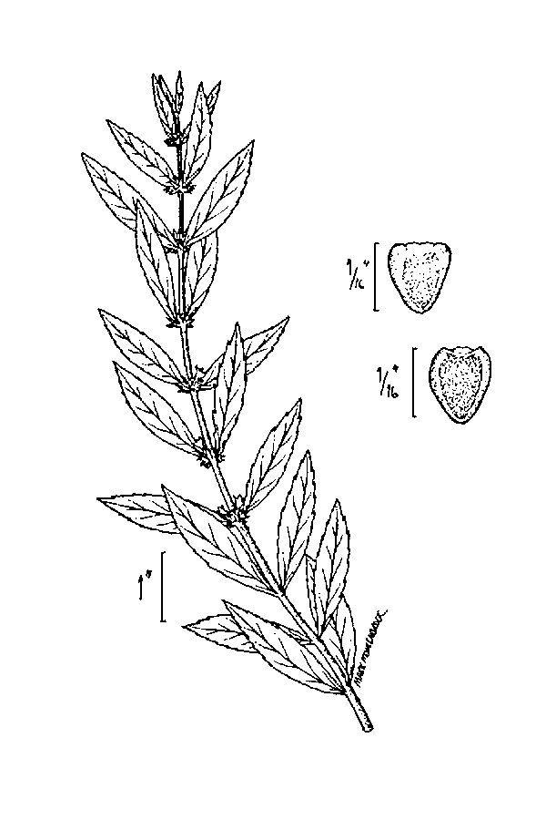 Image of rough bugleweed