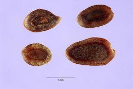 Image of horseflesh mahogany