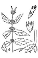 Image of clasping water horehound