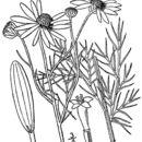 Image of scentless false mayweed