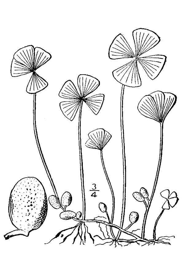 Image of Common Water Clover