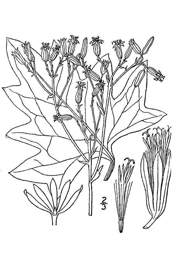 Image of pale Indian plantain