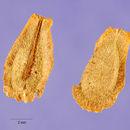 Image of rough potato