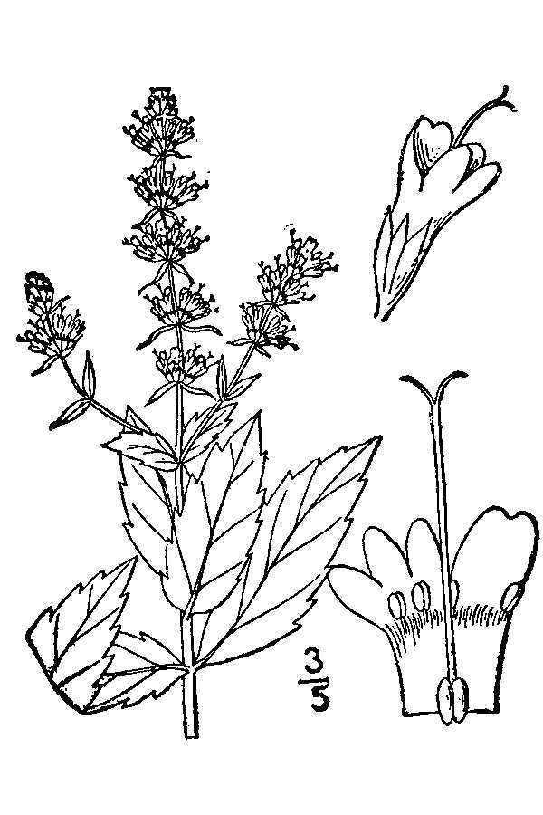 Image of spearmint