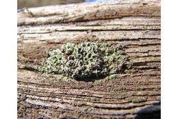Image of megaspora lichen