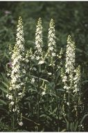 Image of Virginia bunchflower