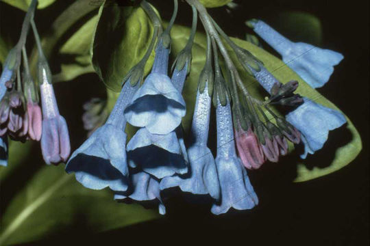 Image of Virginia Bluebell