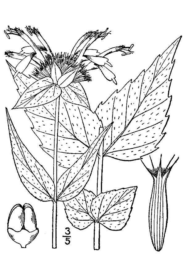 Image of eastern beebalm