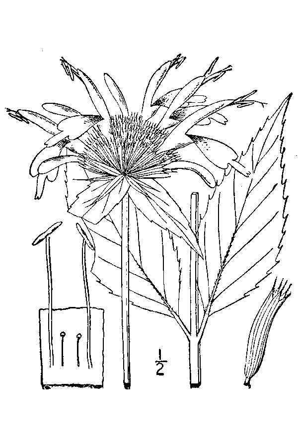 Image of scarlet beebalm