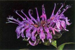 Image of wild bergamot